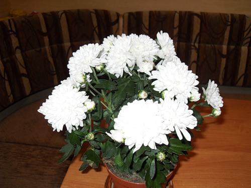 Уход в домашних условия за комнатной хризантемой