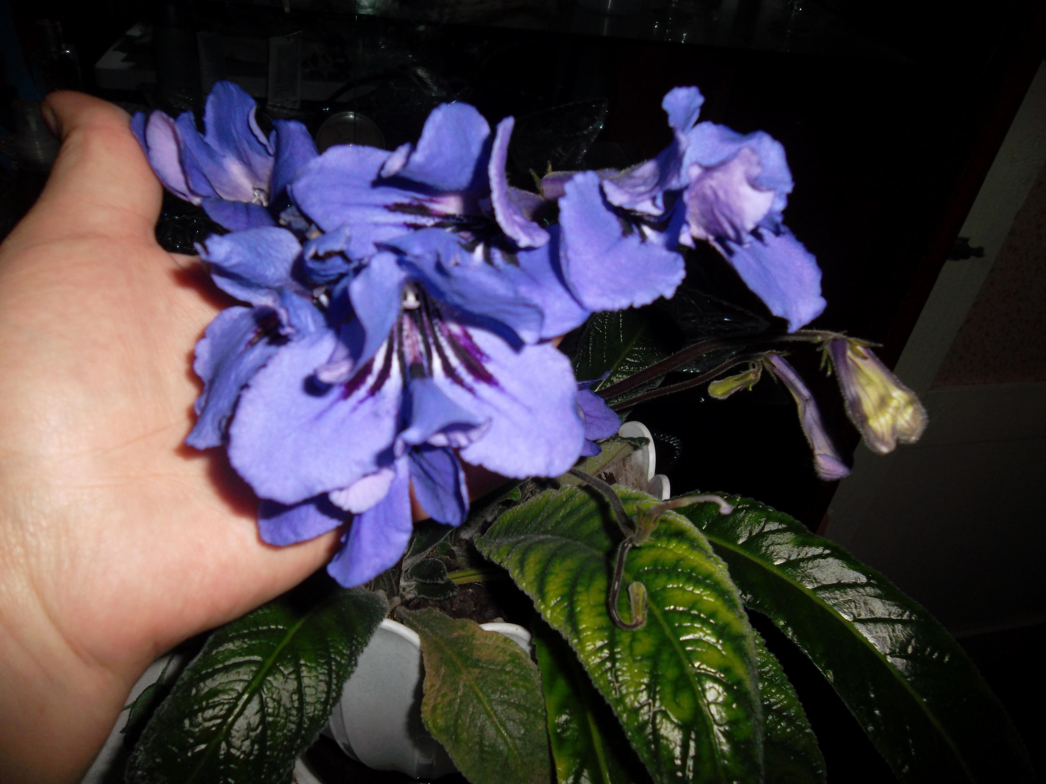 галстук фоне стрептокарпус фиолетовый фото анна бурно