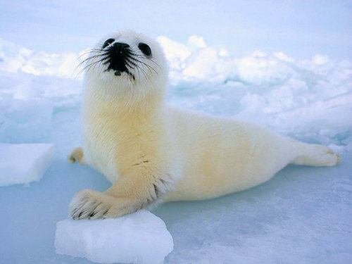 harp-seal-pup.jpg