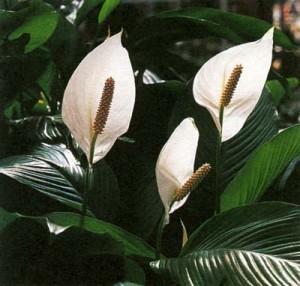 spathiphyllum%20flowers%20.jpg