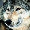 -=Wolf=-